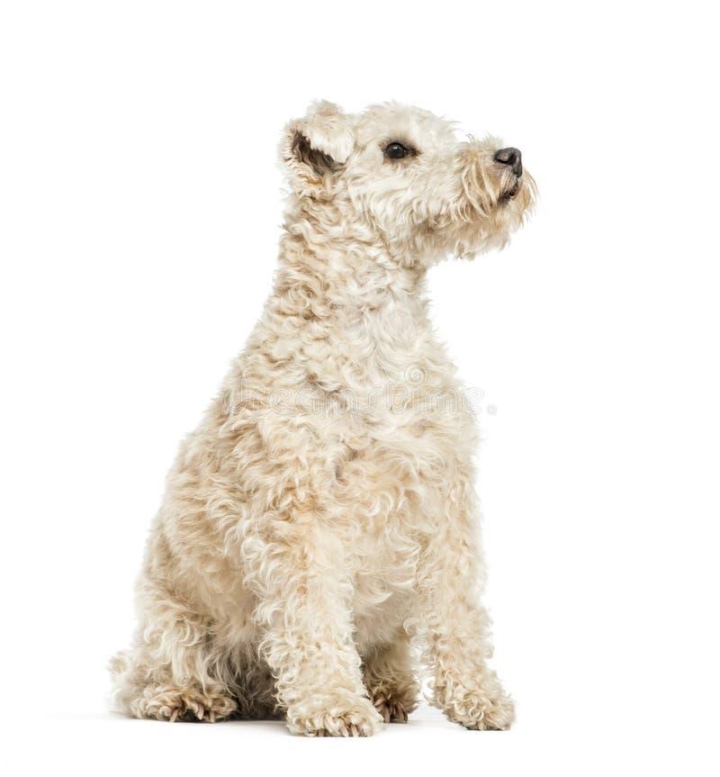 Lakeland Terrier, 6 anos velho imagens de stock