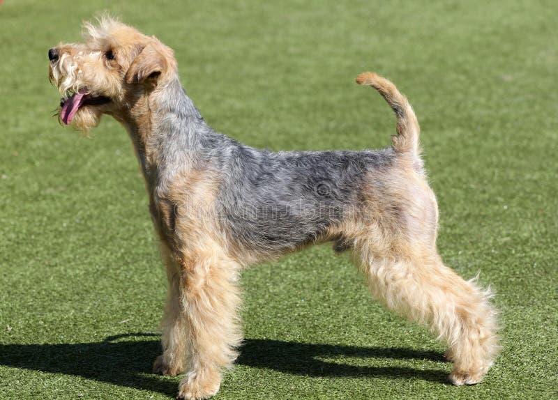 Lakeland Terrier em uma grama verde imagens de stock