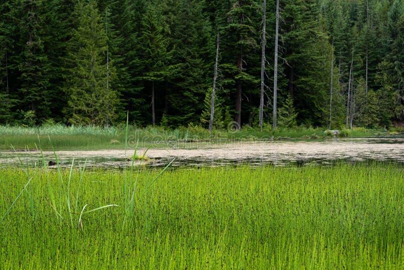 Lakeshore juncos e gramas do pântano da paisagem, lago, e floresta sempre-verde, parque perdido do lago, assobiador BC Canadá fotografia de stock