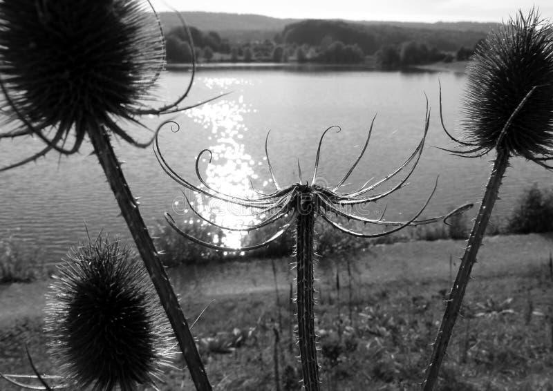 Lakeshore med den ljusa musikbandet av solen och vissna tistlar i f?rgrund i svartvitt arkivbild