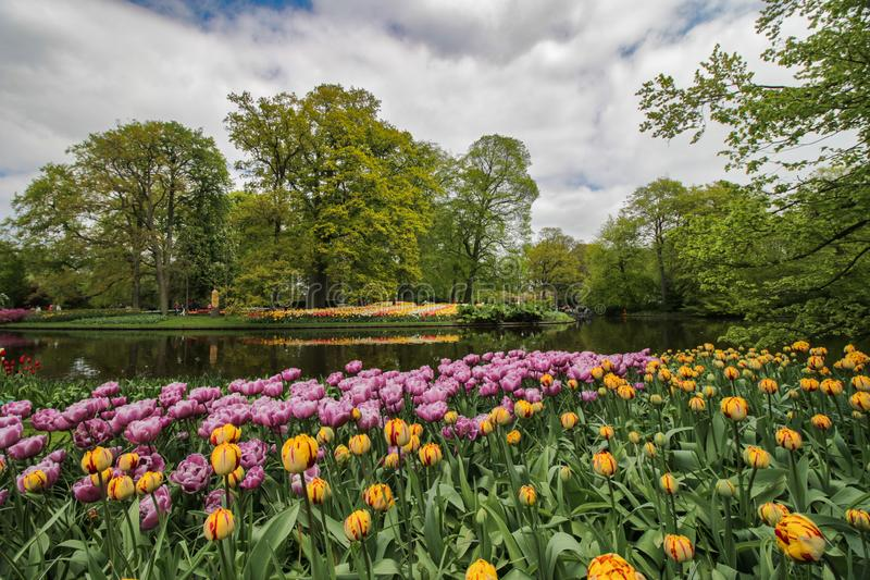 Lakeside garden with yellow and purple tulips stock photo