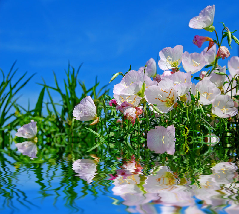 Lakeside Poppies royalty free stock photo