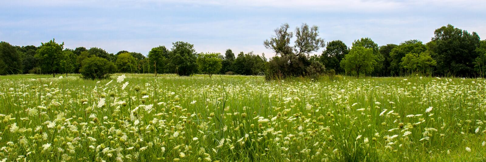 A field of Queen Anne`s Lace wildflowers stock photo