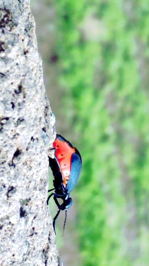 Lalings-Insekt in Indien Dhule-Stadt stockbilder