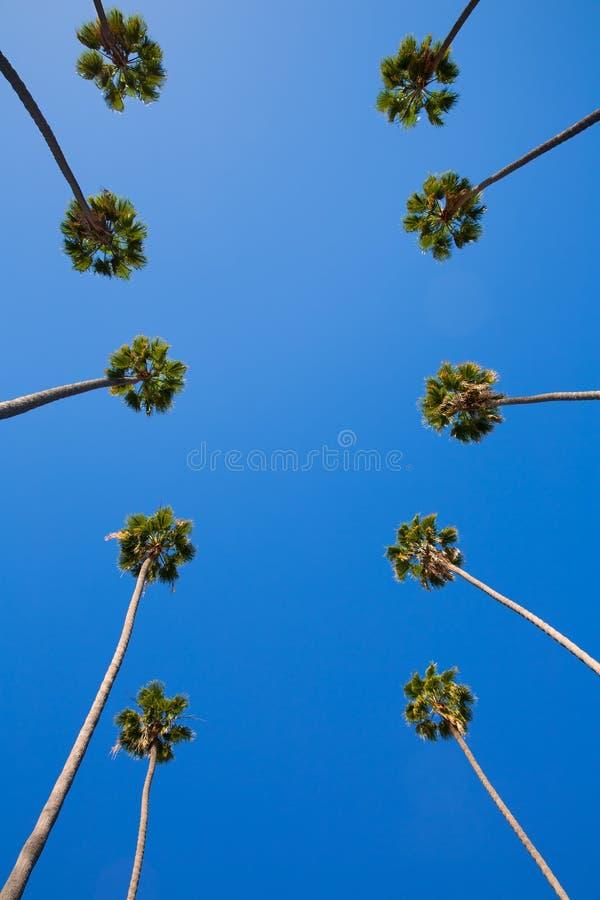 LALos Angeles palmträd i rad typiska Kalifornien royaltyfria foton