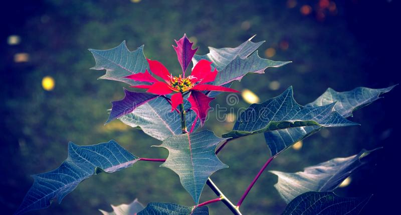 Lalupate红色花! 库存图片
