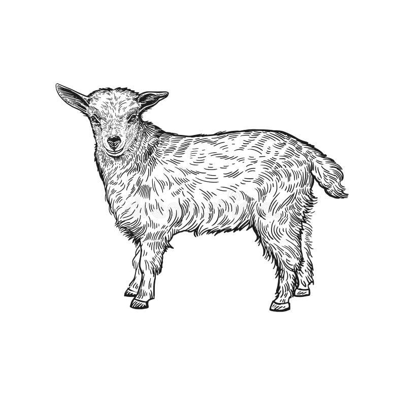 Lam Het dier van het landbouwbedrijf Geïsoleerde realistische met de hand gemaakte tekening vector illustratie