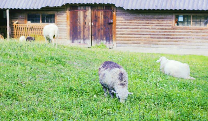 Lam het weiden op weiland dichtbij houten schuur bij landbouwbedrijf royalty-vrije stock foto