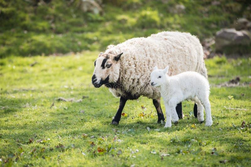 Lam met moeder in platteland, brecon bakens royalty-vrije stock foto's