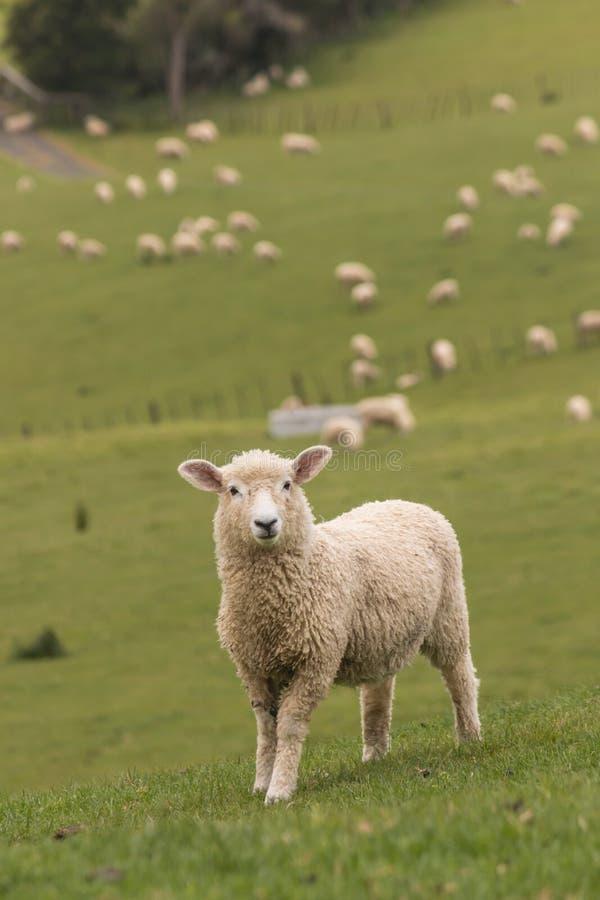 Lam met troep van schapen op achtergrond royalty-vrije stock afbeeldingen