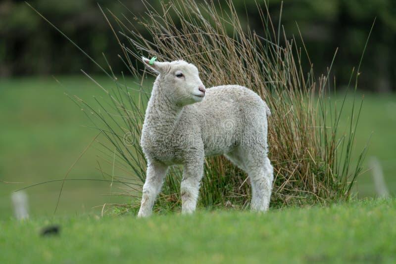 Lam op het landbouwbedrijf van Nieuw Zeeland stock fotografie