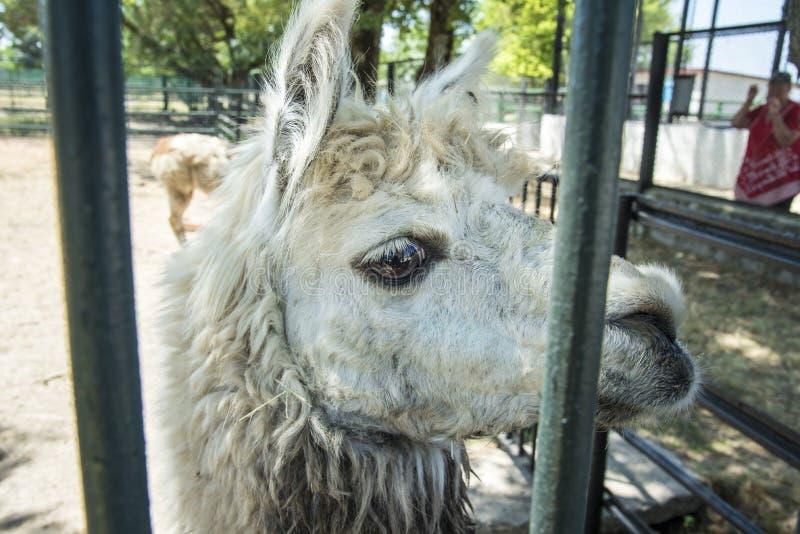 Lam spojrzenia, zoologiczny ogród Krajowej rezerwy nowa, Ukraina fotografia stock