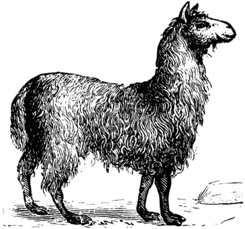 Lama-001 Free Public Domain Cc0 Image