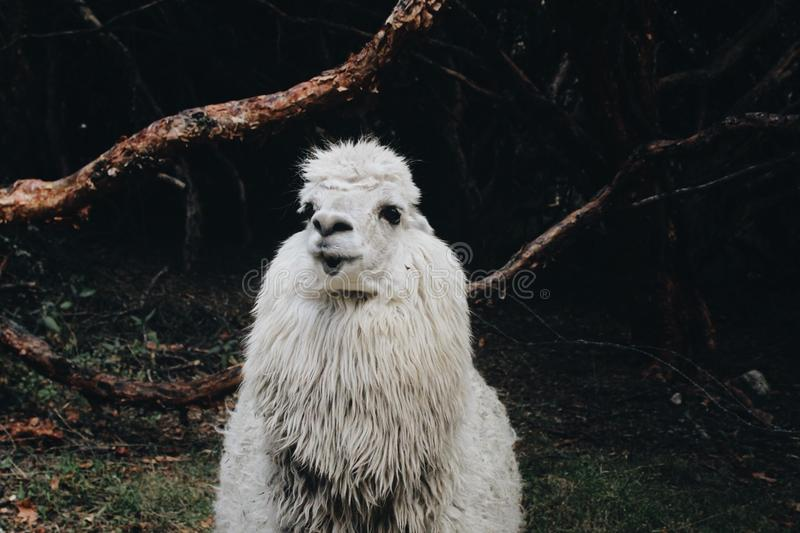 Lama stock afbeelding