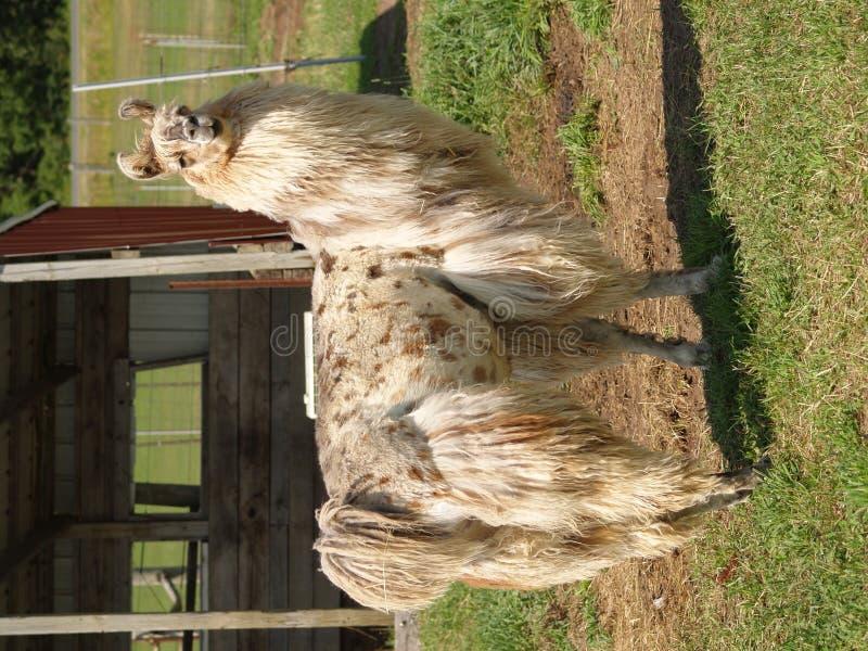 Lama stockbilder