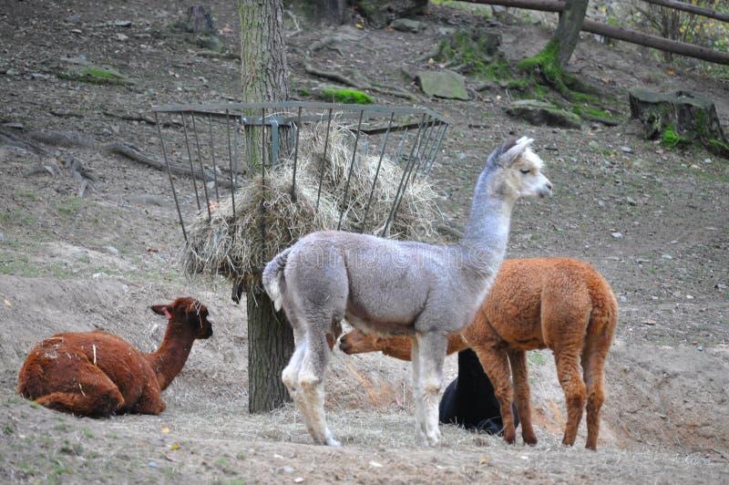 Download Lama stock photo. Image of desert, latin, hair, lake - 11587080