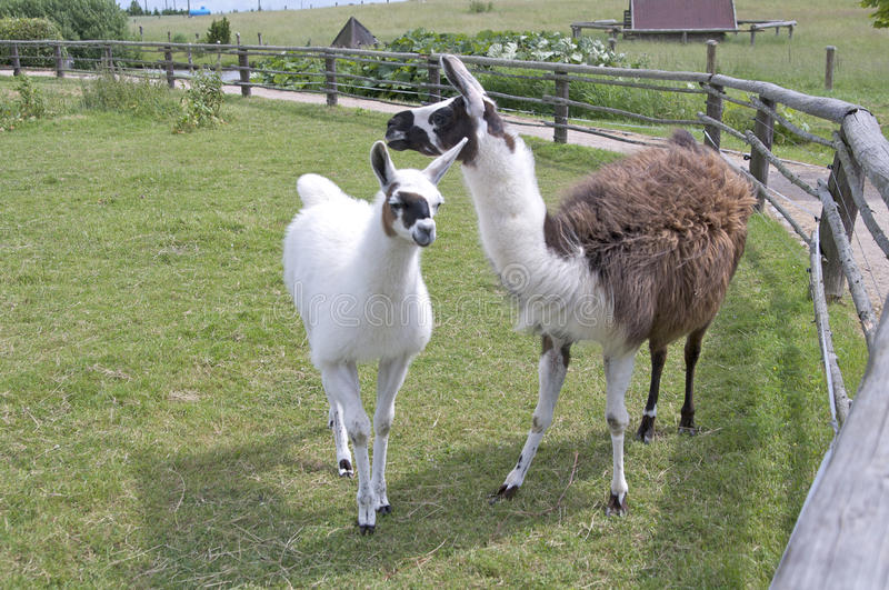 Lama. In farm with juveniles stock photography