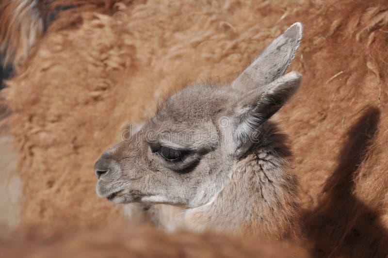 Download Lama stock image. Image of furry, llama, face, even, graze - 23380893