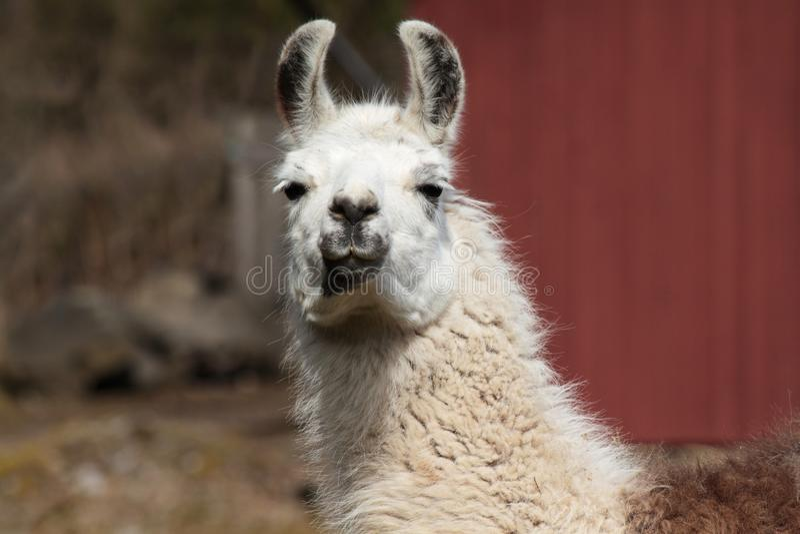 Download Lama 3 stock photo. Image of amazing, hair, animal, graze - 23308856
