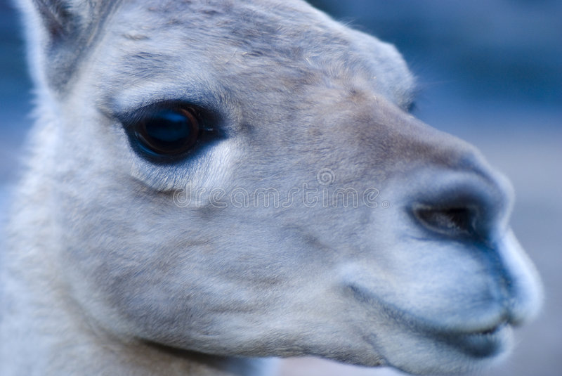 Download Lama stock photo. Image of lama, snout, lithuania, zoology - 5092602
