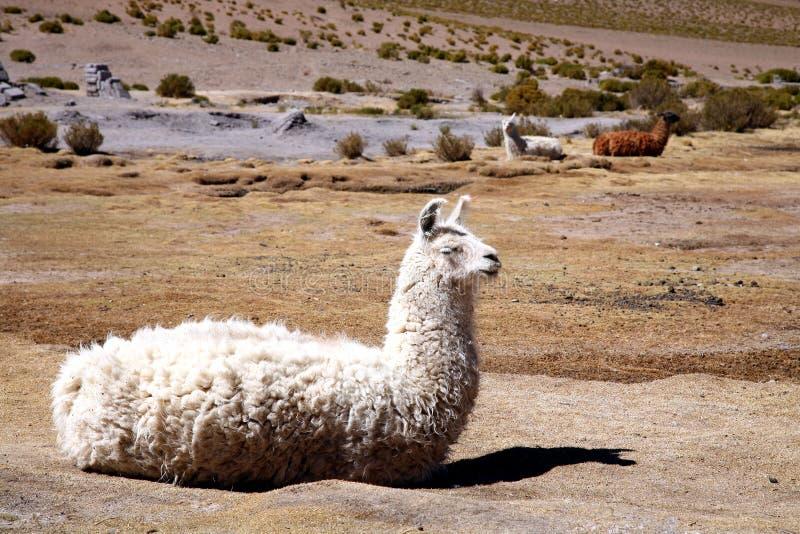 Lama royalty free stock photo