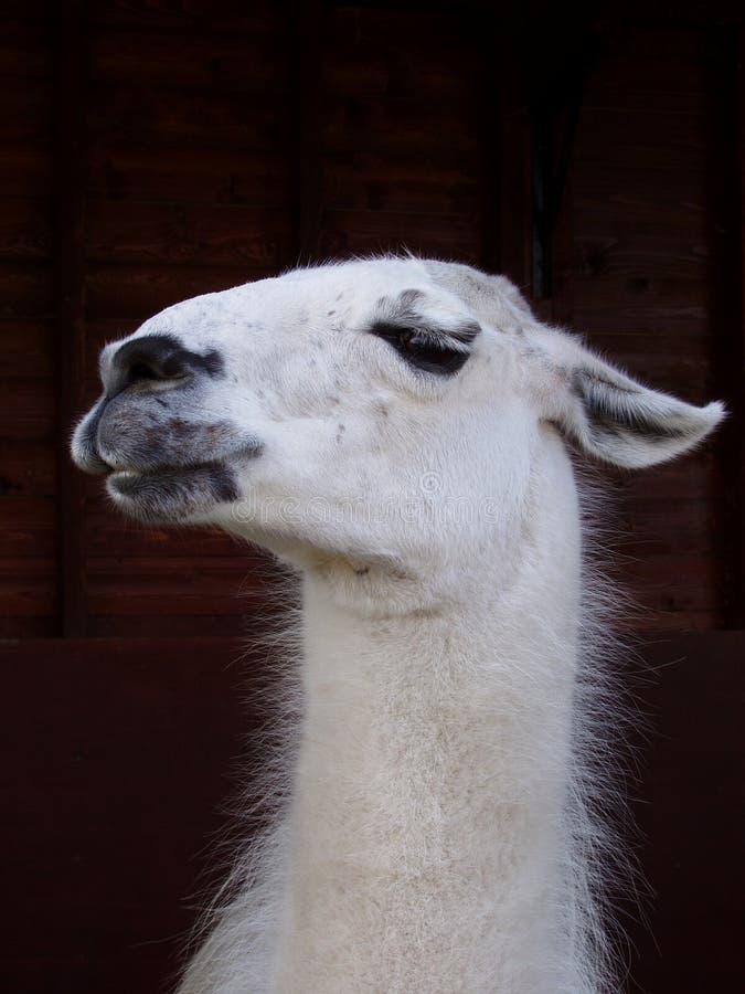 Lama stock afbeeldingen
