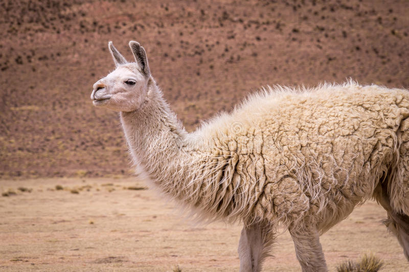 Lama Alpaca in altiplano stock foto