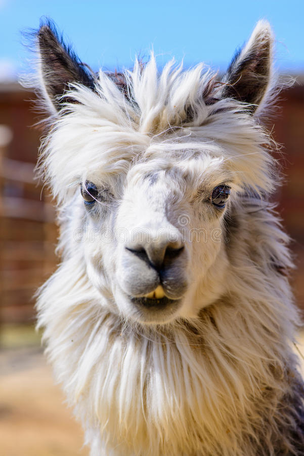 Lama alpaca animal. Lama alpaca exotic animals at the zoo stock photography