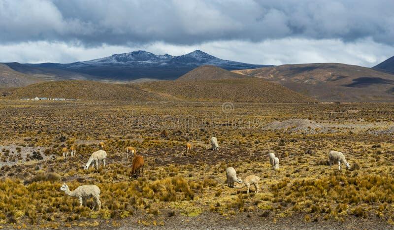 Lama, alpaca e vicunha nos Andes, Peru imagem de stock