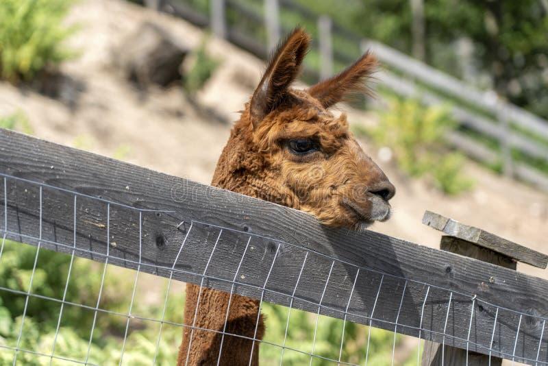 Lama/Alpaca.  funny alpaca. llama behind the fence. brown llama royalty free stock photography