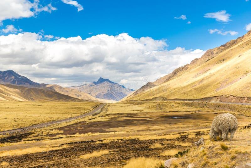 Lama, alpaca het hoeden   Weg Cusco- Puno, Peru, Zuid-Amerika. Heilige Vallei van Incas. Spectaculaire aard van bergen en blauw stock foto