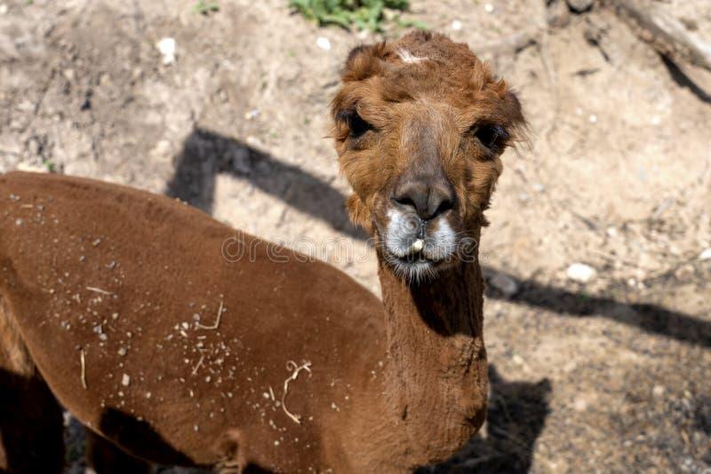 Lama, alpaga/ ?mieszny alpagowy patrzej?cy kamer? lama za ogrodzeniem Brown lama obrazy stock