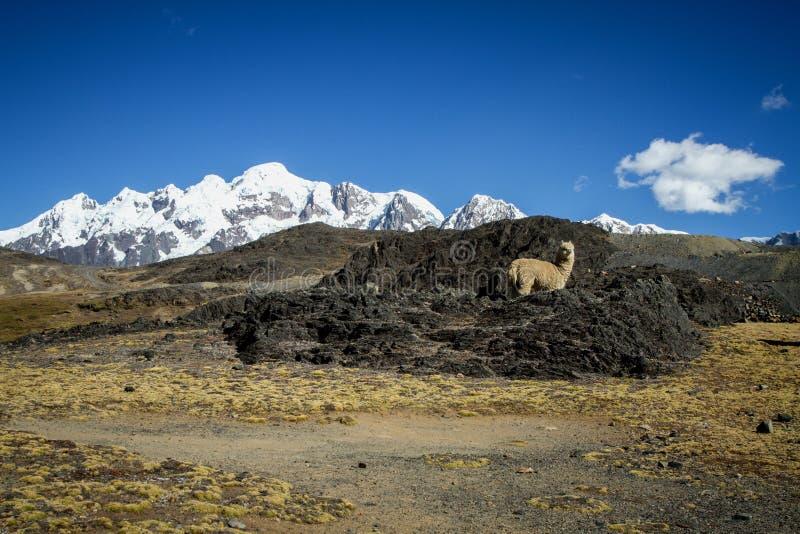Lama-Alpaka in Anden-Bergen, überraschende Ansicht in großartige Berge, Kordilleren, Peru stockfotos