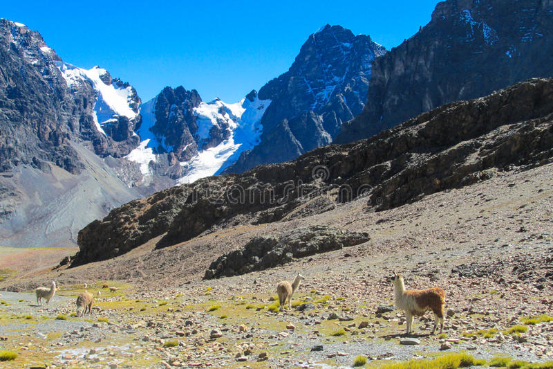 Lama in Andes mountain. Lama at the altiplano mountains, snow top behind. Furry lama stock images