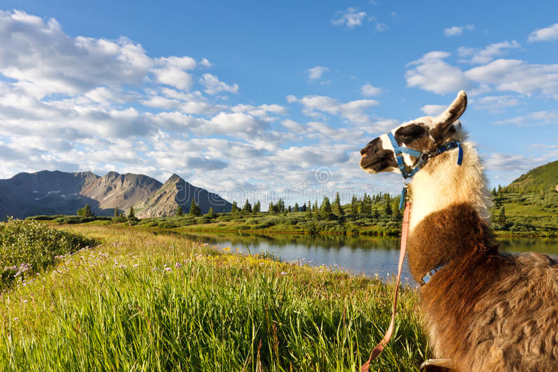 Lama au lac idyllique mountain photographie stock