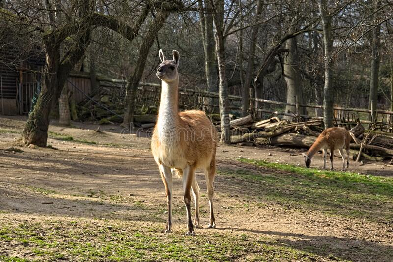 Lama in the aviary at the zoo.  stock image