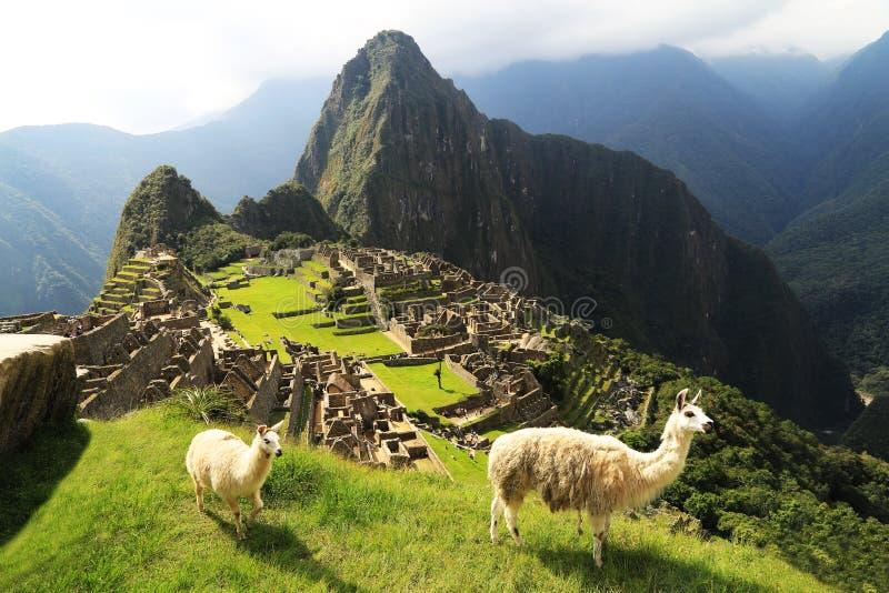 Lama bei Machu Picchu, Peru lizenzfreie stockbilder