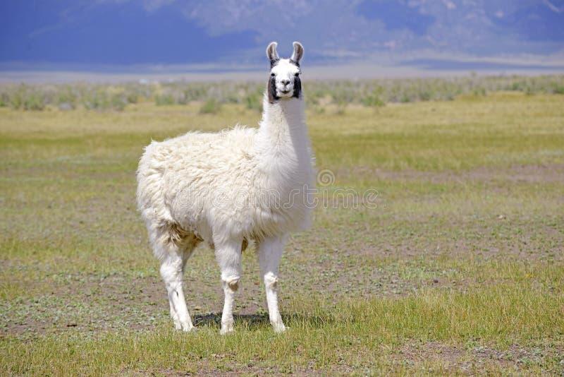 Lama in bergmilieu stock afbeeldingen