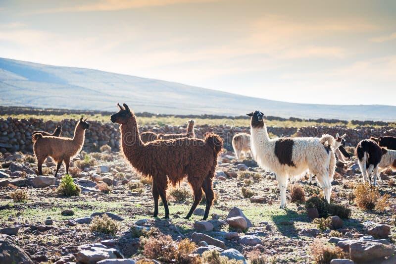 Lama blanco y marrón en Altiplano, Bolivia foto de archivo