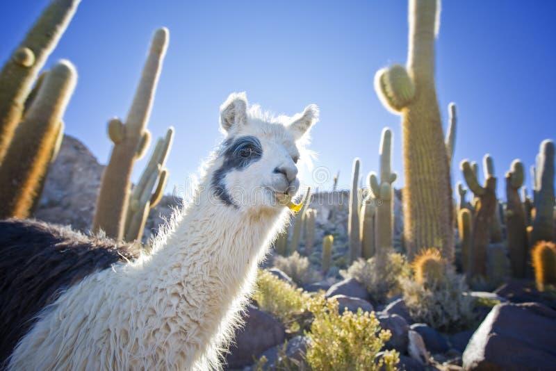 Lama in Bolivien stockbild
