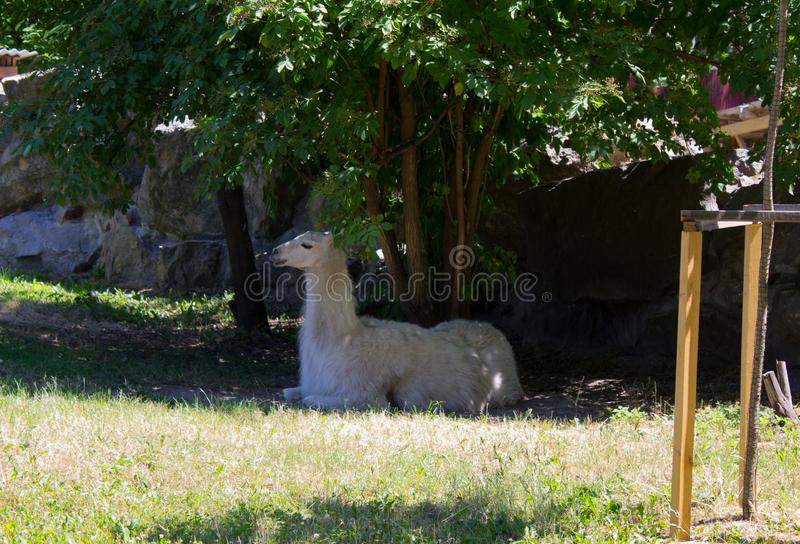 Lama branca imagem de stock royalty free