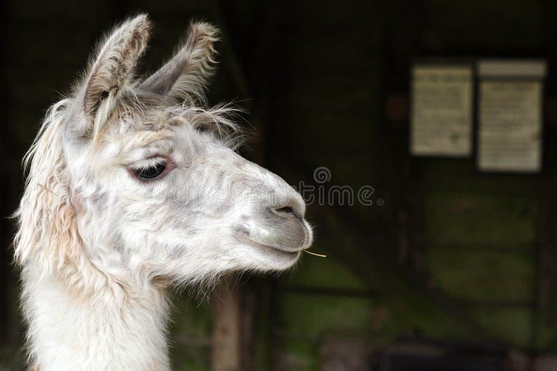 Lama branco que mastiga uma vara fotos de stock royalty free