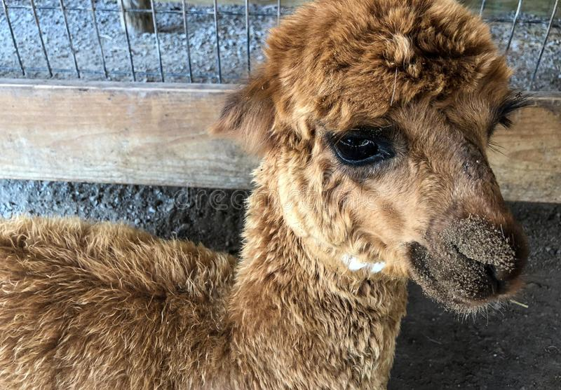 Lama brouillé de brun de bébé au parc animalier photo stock