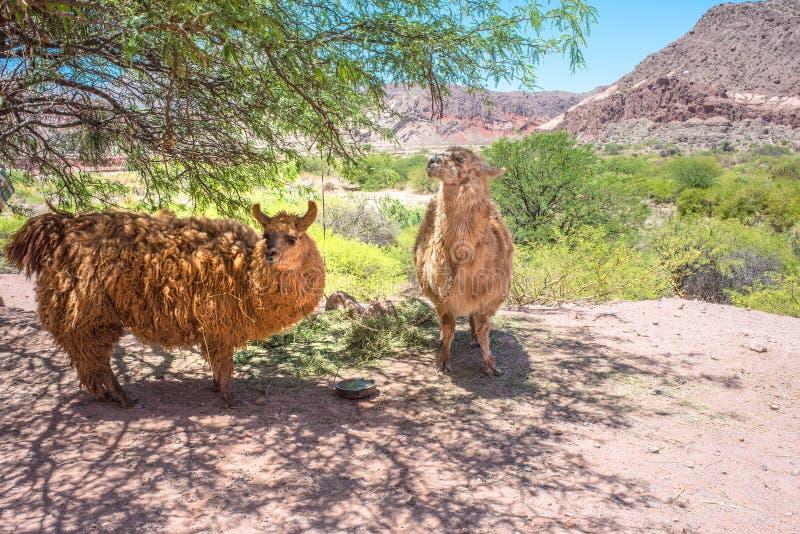 Lama che pascono vicino alla strada, Argentina, Salta fotografie stock libere da diritti