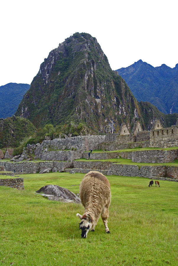 Lama chez Machu Picchu, Pérou photo stock