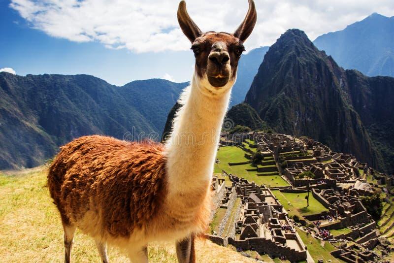 Lama chez Machu Picchu, ruines d'Inca dans les Péruviens photos libres de droits