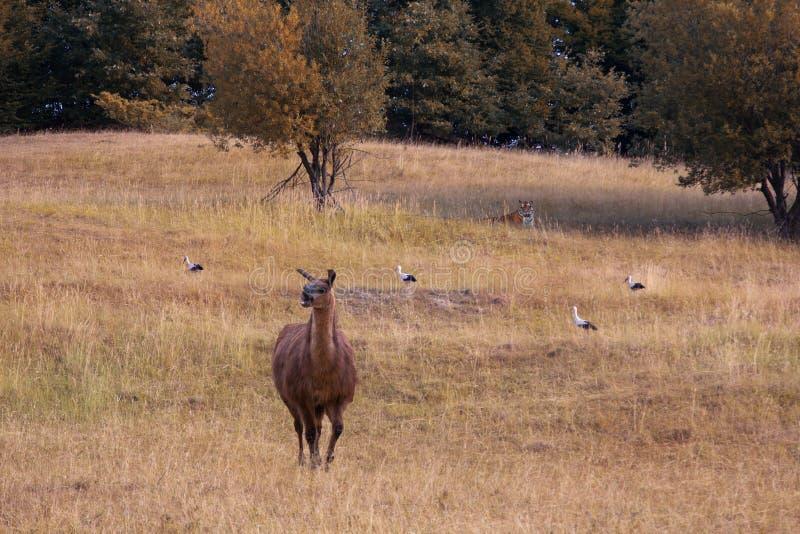 Lama, cigogne et tigre en nature photographie stock