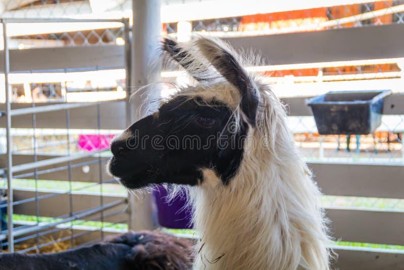 Lama con pelliccia bianca e fronte scuro in penna alla fiera della contea fotografia stock libera da diritti