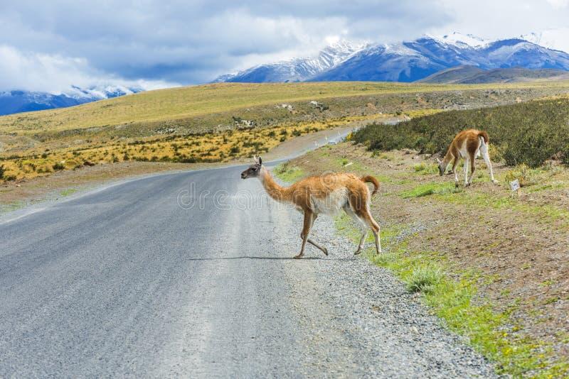 Lama curieux de guanaco sur la route image stock