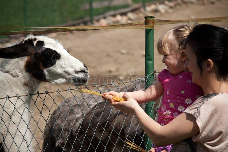 Lama d'alimentazione del giardino zoologico fotografia stock libera da diritti